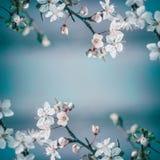 春天与白色樱花的框架背景在蓝色背景,文本的地方 库存照片
