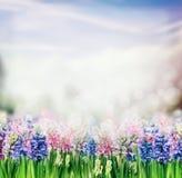 春天与风信花开花的植物的自然背景在庭院或公园里 图库摄影