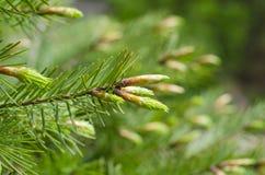 年轻春天云杉树开花 在春天关闭的新的冷杉分支 新鲜的云杉的射击,自然本底 图库摄影