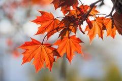 春天五颜六色的场面 与红色叶子的槭树分支,晴天 软的焦点,浅景深 库存照片