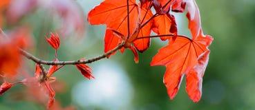春天五颜六色的背景 红槭与红色叶子的树枝 库存图片