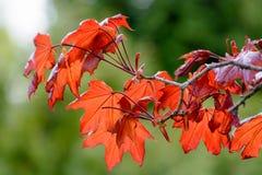 春天五颜六色的背景 红槭与红色叶子的树枝 免版税库存照片