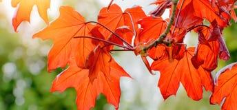 春天五颜六色的背景 红槭与红色叶子的树枝 免版税图库摄影