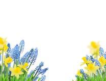 春天会开蓝色钟形花的草和黄水仙 免版税库存照片
