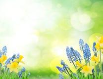 春天会开蓝色钟形花的草和黄水仙 库存图片