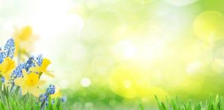 春天会开蓝色钟形花的草和黄水仙 免版税库存图片