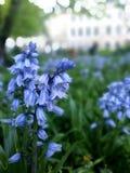 春天会开蓝色钟形花的草在布里斯托尔 免版税库存照片