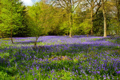 春天会开蓝色钟形花的草在森林地(非scripta的hyacinthoides) 免版税库存照片