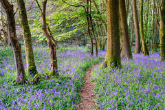 春天会开蓝色钟形花的草森林 库存图片