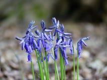 春天会开蓝色钟形花的草特写镜头在森林地 图库摄影