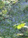 春天会开蓝色钟形花的草 库存照片