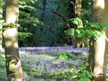 春天会开蓝色钟形花的草 免版税库存图片