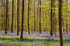 春天会开蓝色钟形花的草Simphony 库存照片