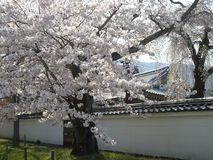 春天佐仓在京都,日本 库存图片