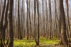 春天光秃的森林许多白杨木树干 库存图片