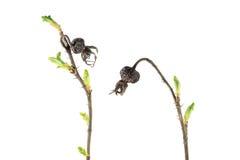 春天分支上升了与干燥在白色背景隔绝的臀部和新鲜的绿色芽 唤醒春天 免版税库存照片