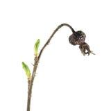 春天分支上升了与干燥在白色背景隔绝的臀部和新鲜的绿色芽 唤醒春天 免版税库存图片