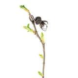 春天分支上升了与干燥在白色背景隔绝的臀部和新鲜的绿色芽 唤醒春天 库存照片