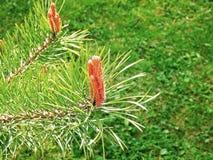 春天分支杉树在公园 免版税库存图片