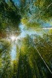 春天发光通过高大的树木竹子森林机盖的太阳  Su 库存照片