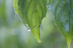 春天叶子在雨中 库存照片