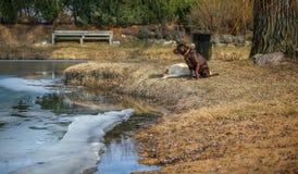 春天和两条狗-黄色和巧克力拉布拉多 免版税库存照片