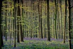 春天和会开蓝色钟形花的草在Hallerbos森林 免版税图库摄影