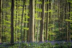 春天和会开蓝色钟形花的草在Hallerbos森林 免版税库存照片