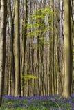 春天和会开蓝色钟形花的草在Hallerbos森林 免版税库存图片