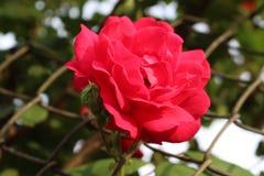 春天和新鲜的玫瑰通过庭院篱芭被显示 图库摄影
