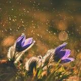 春天和春天花在雨中 在一个草甸的开花的美丽的花本质上 白头翁和太阳与自然 免版税库存图片