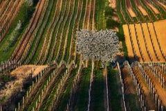 春天和白色开花的苹果树起点在葡萄园里 南摩拉维亚 cesky捷克krumlov中世纪老共和国城镇视图 库存图片