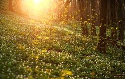 春天唤醒花和植被在太阳的森林里 免版税库存图片
