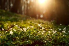 春天唤醒花和植被在日落的森林里 库存图片