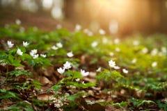 春天唤醒花和植被在日落的森林里 图库摄影