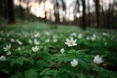 春天唤醒花和植被在日落的森林里 免版税库存照片