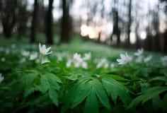 春天唤醒花和植被在日落的森林里 库存照片