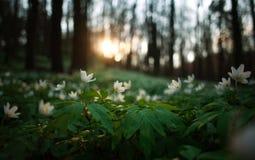 春天唤醒花和植被在日落的森林里 免版税库存图片