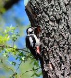 春天啄木鸟 库存图片