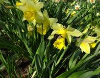 春天土蜂在与黄色黄水仙的花床上 库存图片