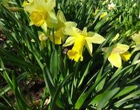 春天土蜂在与黄色黄水仙的花床上 免版税库存图片