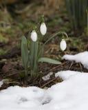 春天在一个森林里在春天开花snowdrops (Galanthus) 免版税库存照片