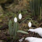 春天在一个森林里在春天开花snowdrops (Galanthus) 免版税图库摄影