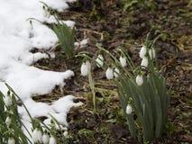 春天在一个森林里在春天开花snowdrops (Galanthus) 免版税库存图片