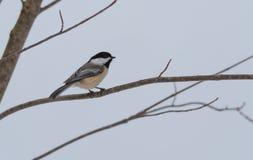 春天在一个非常早期,灰色春日来,黑盖帽山雀, Poecile atricapillus,在一个分支 库存照片