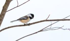 春天在一个非常早期,灰色春日来,黑盖帽山雀, Poecile atricapillus,在一个分支 库存图片