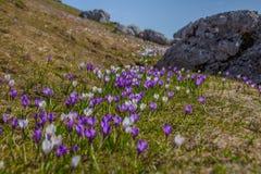 春天在一个高山草甸开花(snowdrops) 免版税库存照片