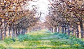 春天在一棵草的早晨霜在苹果树 免版税库存图片