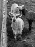 春天在农场在春天产小羊在Seaford,东萨塞克斯郡 库存图片