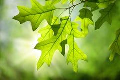 春天在分支的橡木叶子反对绿色林冠层 免版税图库摄影